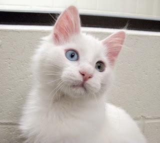 Gambar Kucing Anggora Lucu dan Imut 10009