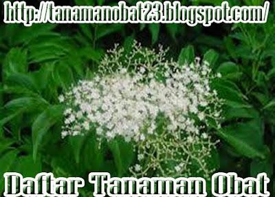 Sangitan(Sambucus javanica Reinw.)