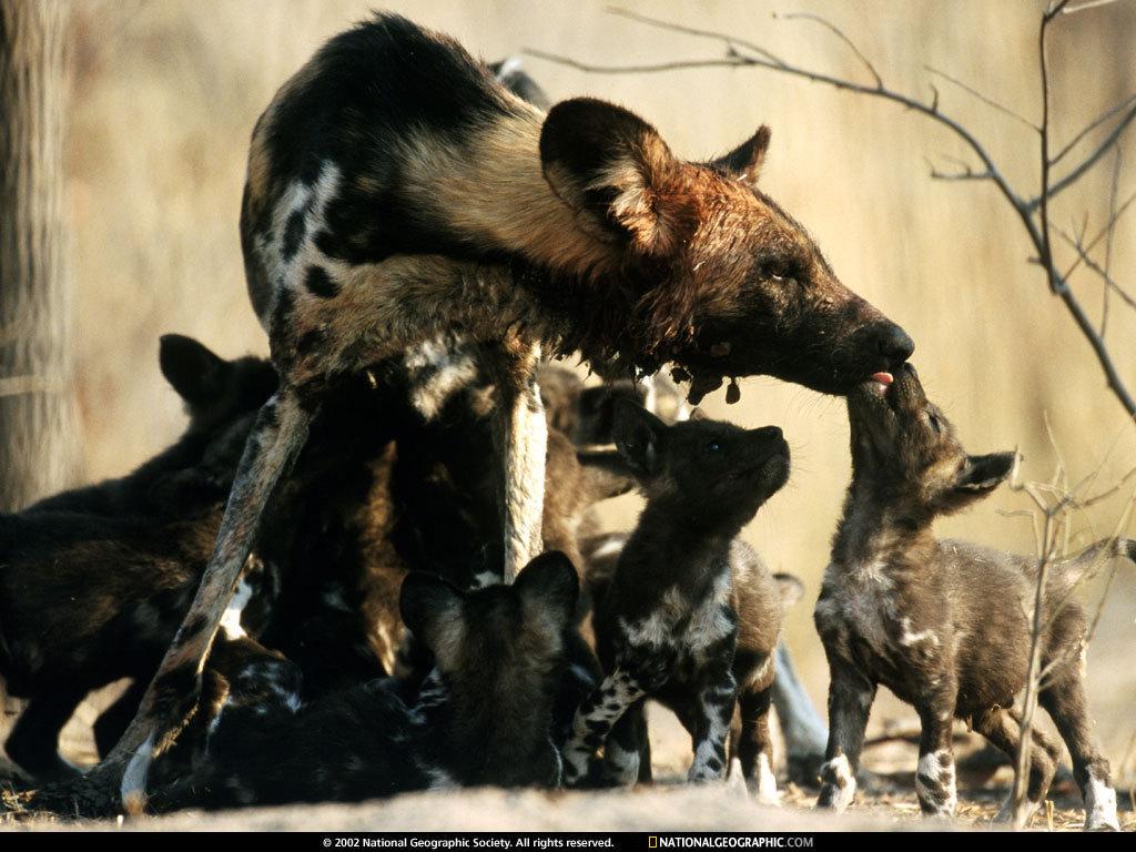 Fotos de felinos salvajes Fotonostra - imagenes de animales de africa