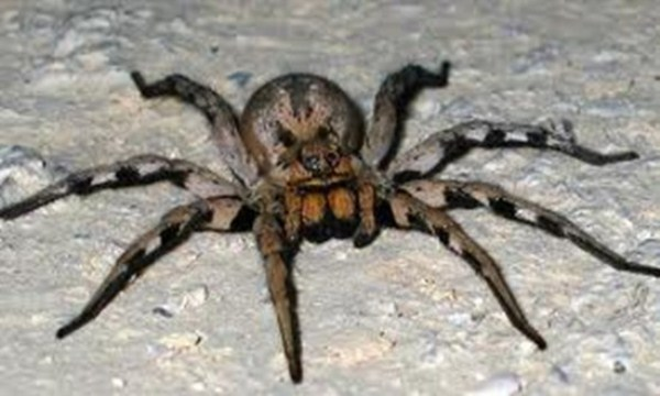 Dangerous Animal BRAZILIAN WANDERING SPIDER
