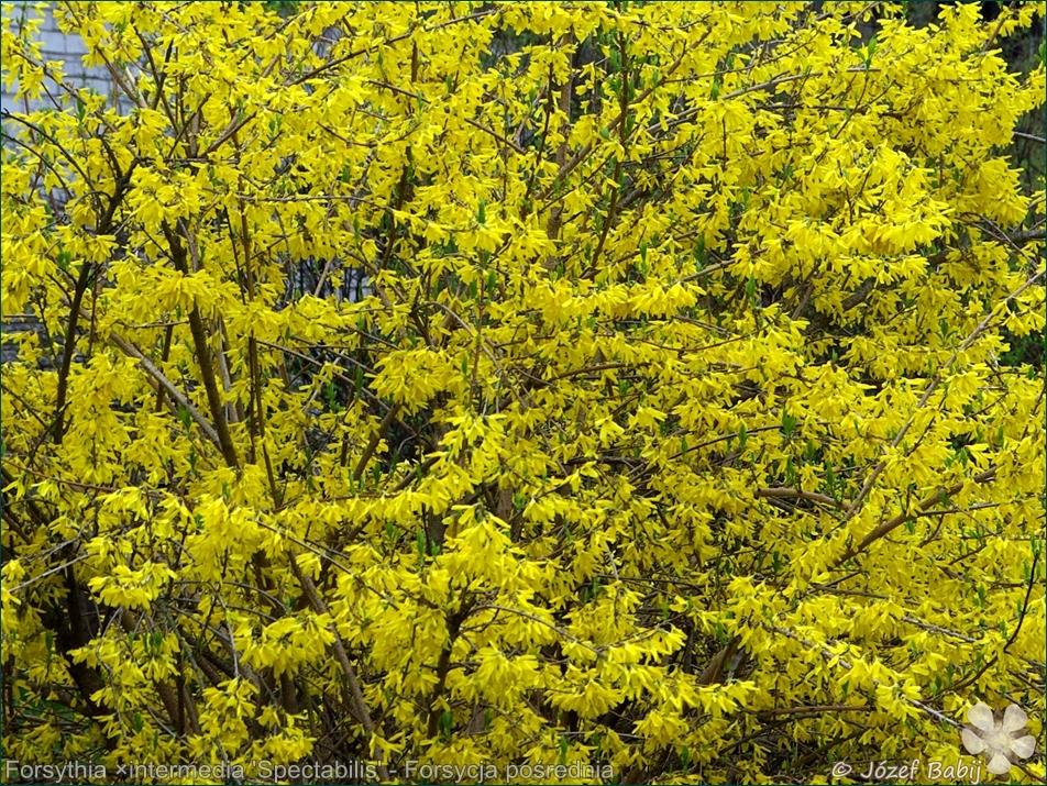 Forsythia ×intermedia 'Spectabilis' - Forsycja pośrednia 'Spectabilis' kwiaty