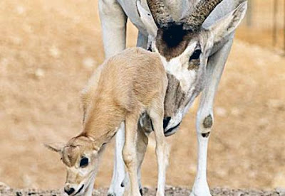 addax Antelope (Sahara)
