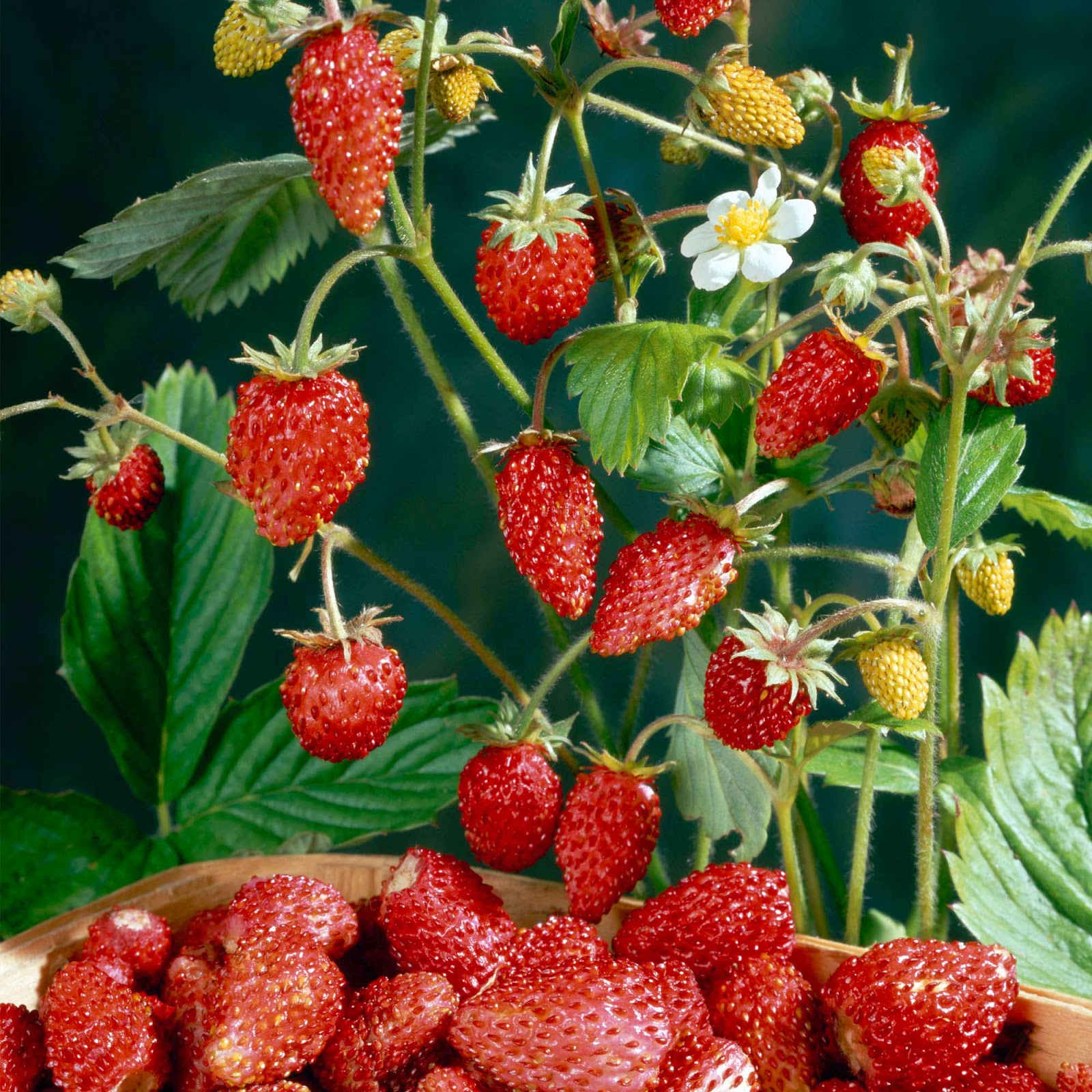 how to grow the strawberry tree from seed  garden how, Beautiful flower