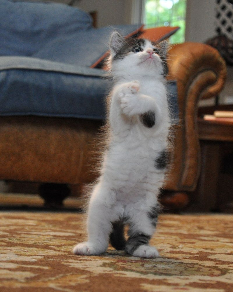 funny cats pictures, standing kitten