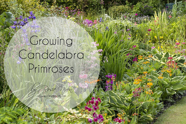 growing candelabra primroses