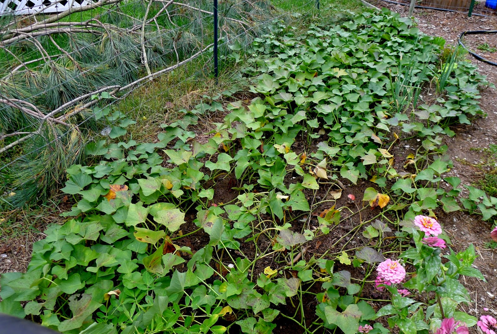 Beauregard Sweet potato Vines, urban farming, gardening