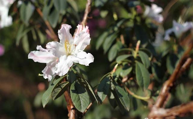 Azalea Flowers Pictures