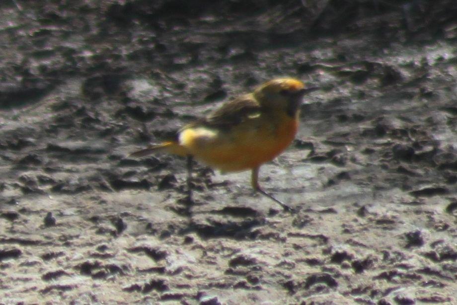 Richard waring 39 s birds of australia spotless crake - Chat orange ...