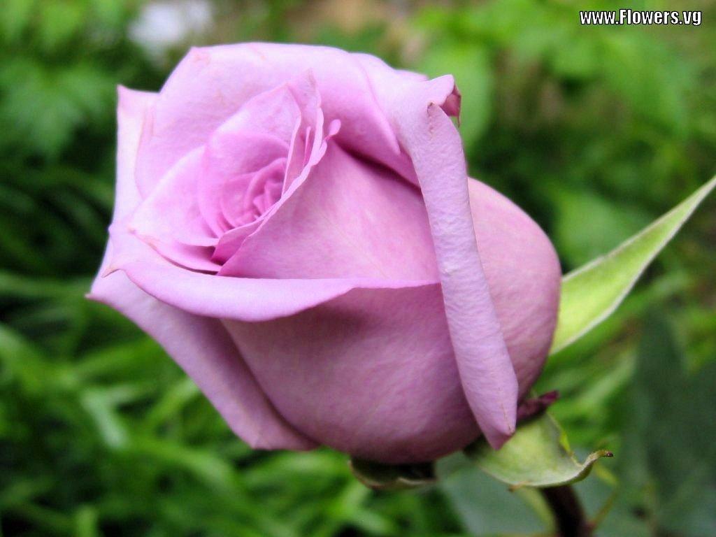 Beauty Flower Purple Rose Color Meanings