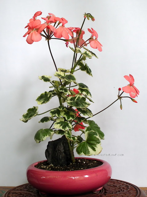 Pelargonium zonale Frank Headley in bloom