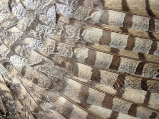 [Feathers of a road-kill Great Horned Owl]