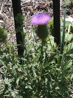 thistle blooming along Martin Luther King, Jr. Avenue in Washington, DC