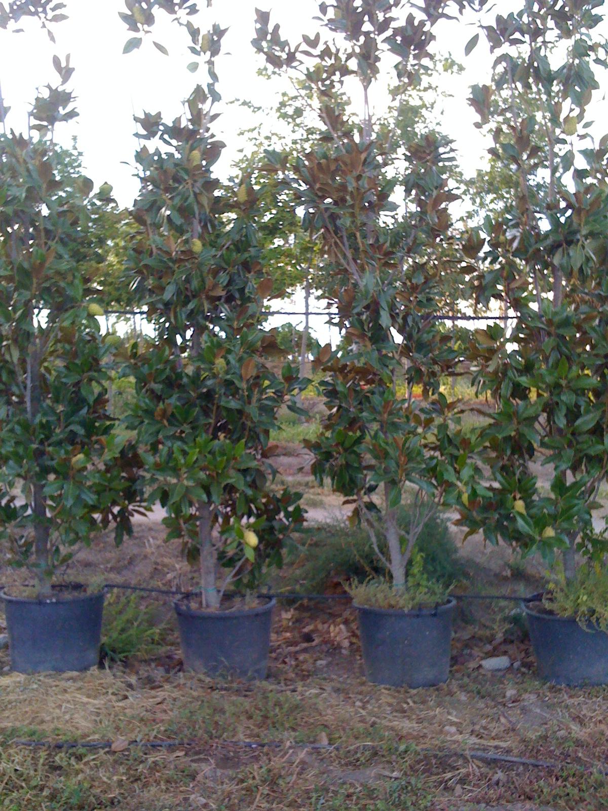 Vivero arboles ornamentales magnolia grandiflora for Vivero las magnolias