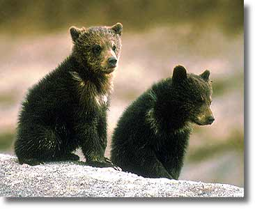 Grizzly bears cubs - photo#18