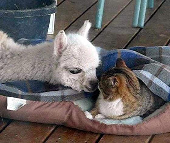 foto persahabatan seekor alpaca dan sepasang kucing 01