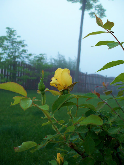 A yellow rose in the early morning fog