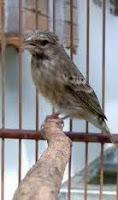 Burung Sejenis Kenari