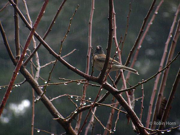 Oregon Junco in Plum Tree in the Rain