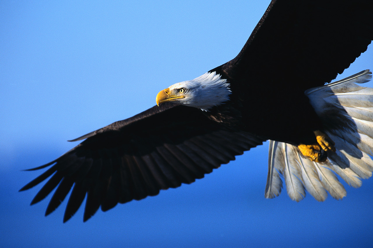 Eagle In Flight, #Eagle