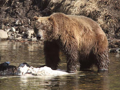 Grizzly Bear Feeding on Bison Carcass
