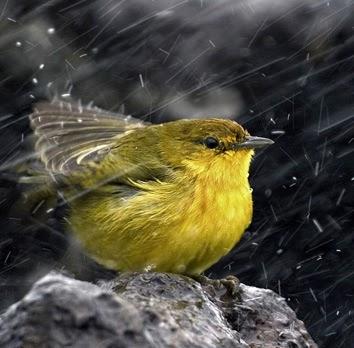 Suara Hujan Untuk Menenangkan Burung Terutama Pleci