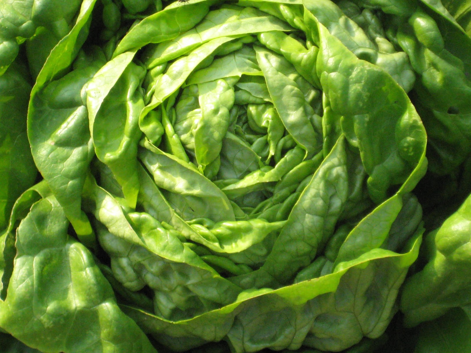 My favorite lettuces a...