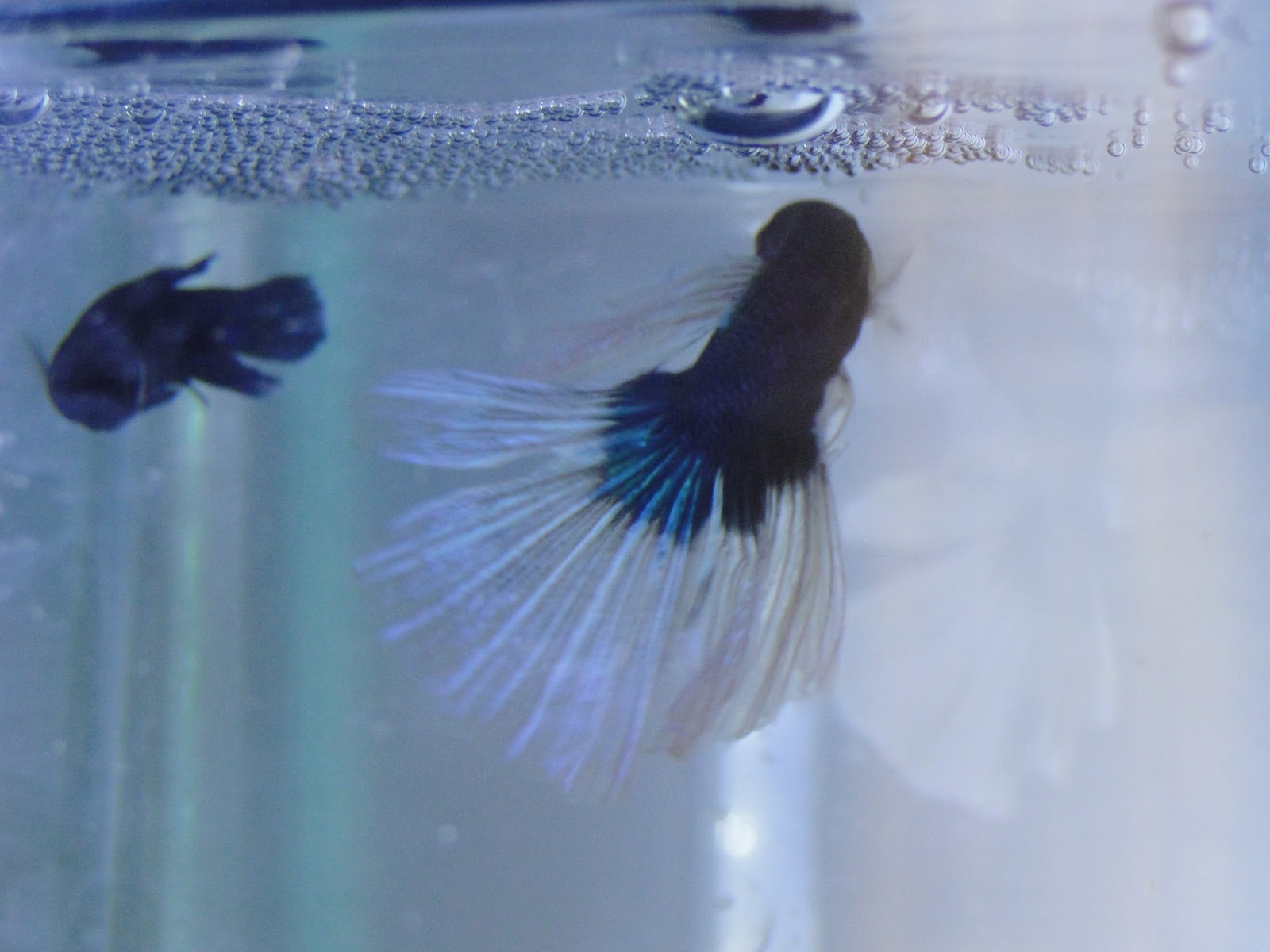 Gayatri balu 39 s blog betta fish betta spawning process and for Can you put betta fish with other fish
