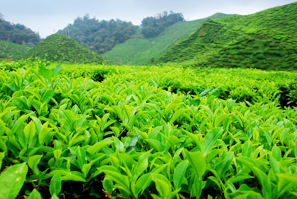Выращивание зелёный чай 20