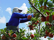Plena colheita da maçã brasileira