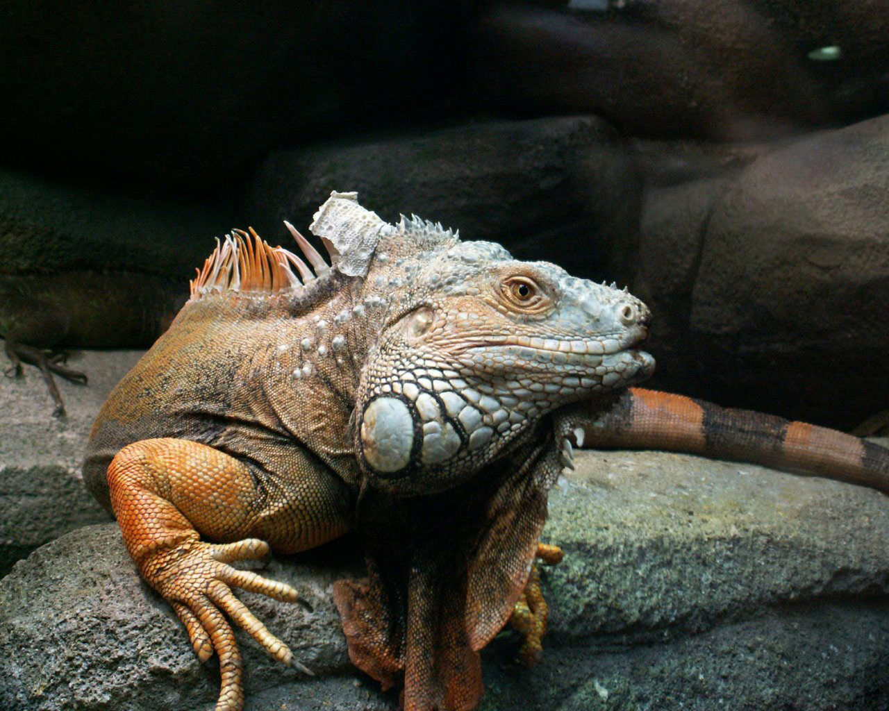 http://2.bp.blogspot.com/-yan-fb3iKMI/T-bplnwHrtI/AAAAAAAACvQ/xBYxvpvnUkw/s1600/iguana+pictures.jpg