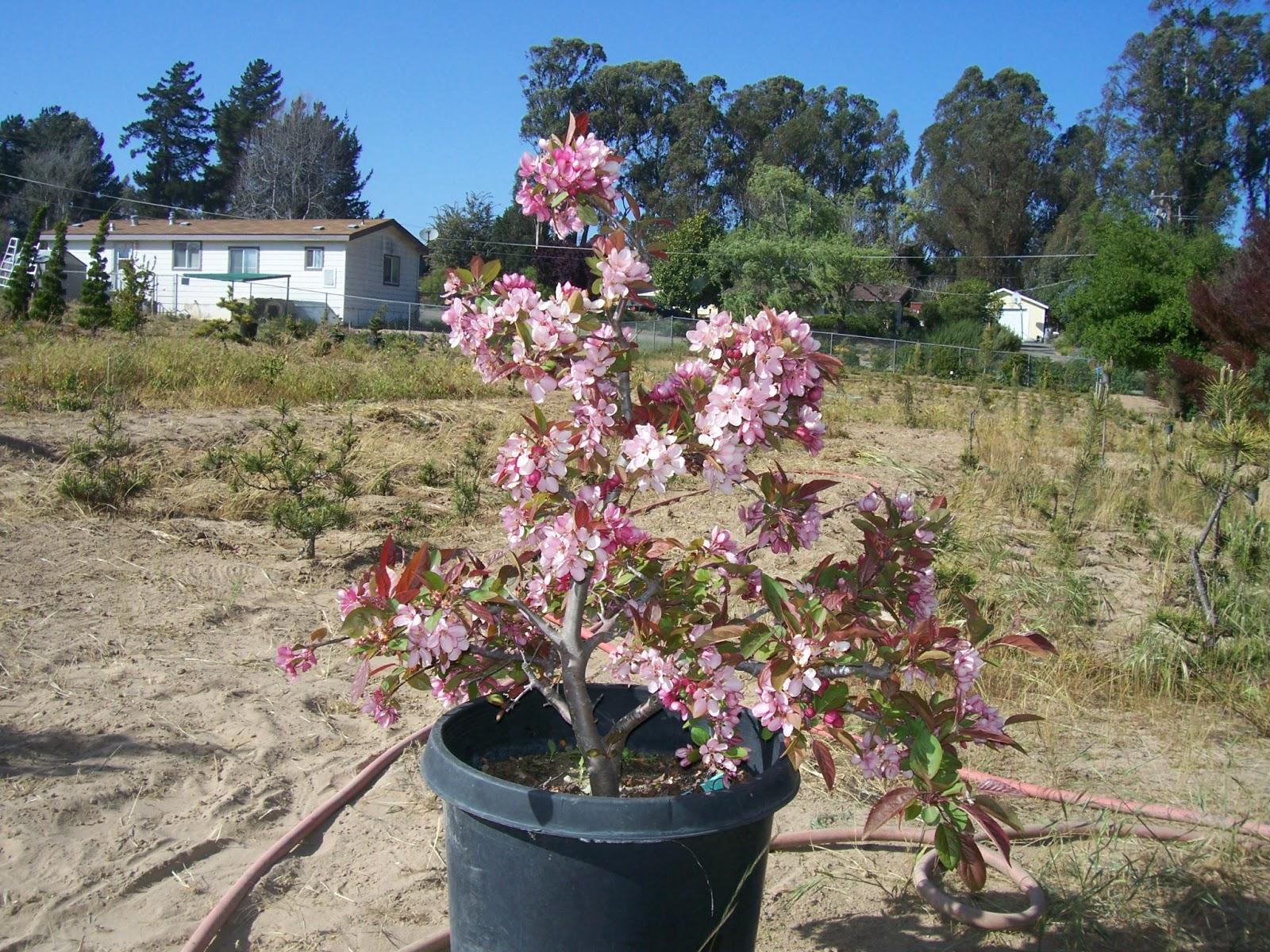 What39s Happening At Muranaka Bonsai Nursery Weeding Around The Trees