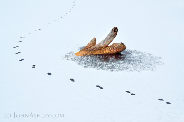 Coyote tracks in snow (c) John Ashley