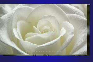 mawar_putih40802