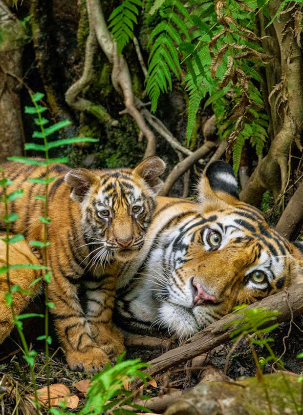 Tiger Breeds