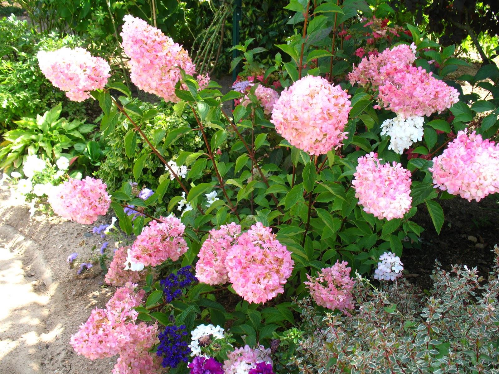 roses du jardin ch neland hydrang a paniculata vanille. Black Bedroom Furniture Sets. Home Design Ideas