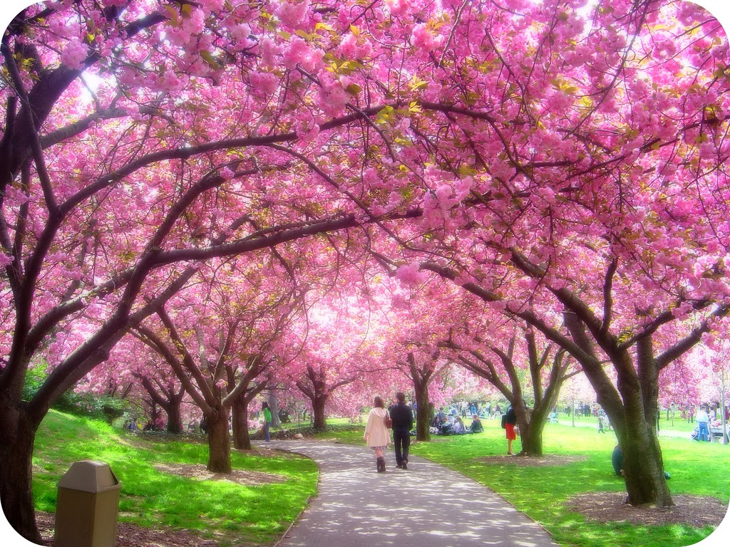 Arti Bunga Sakura Bagi Masyarakat Jepang