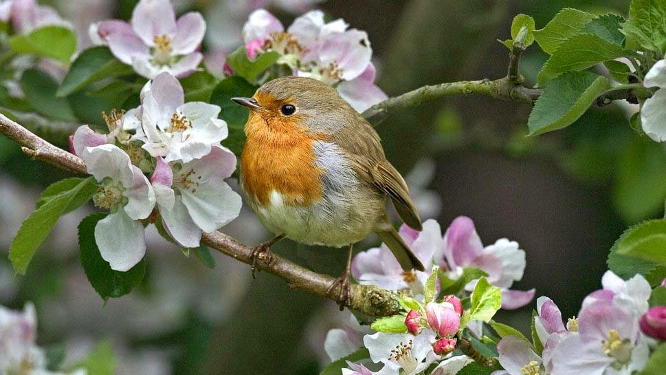 background-flower-birds-wallpapers