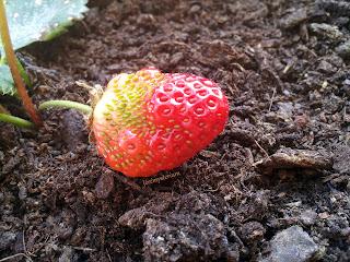 Une fraise, fin prête à être mangée! Ho non encore? Il faut d'abord la récolter...