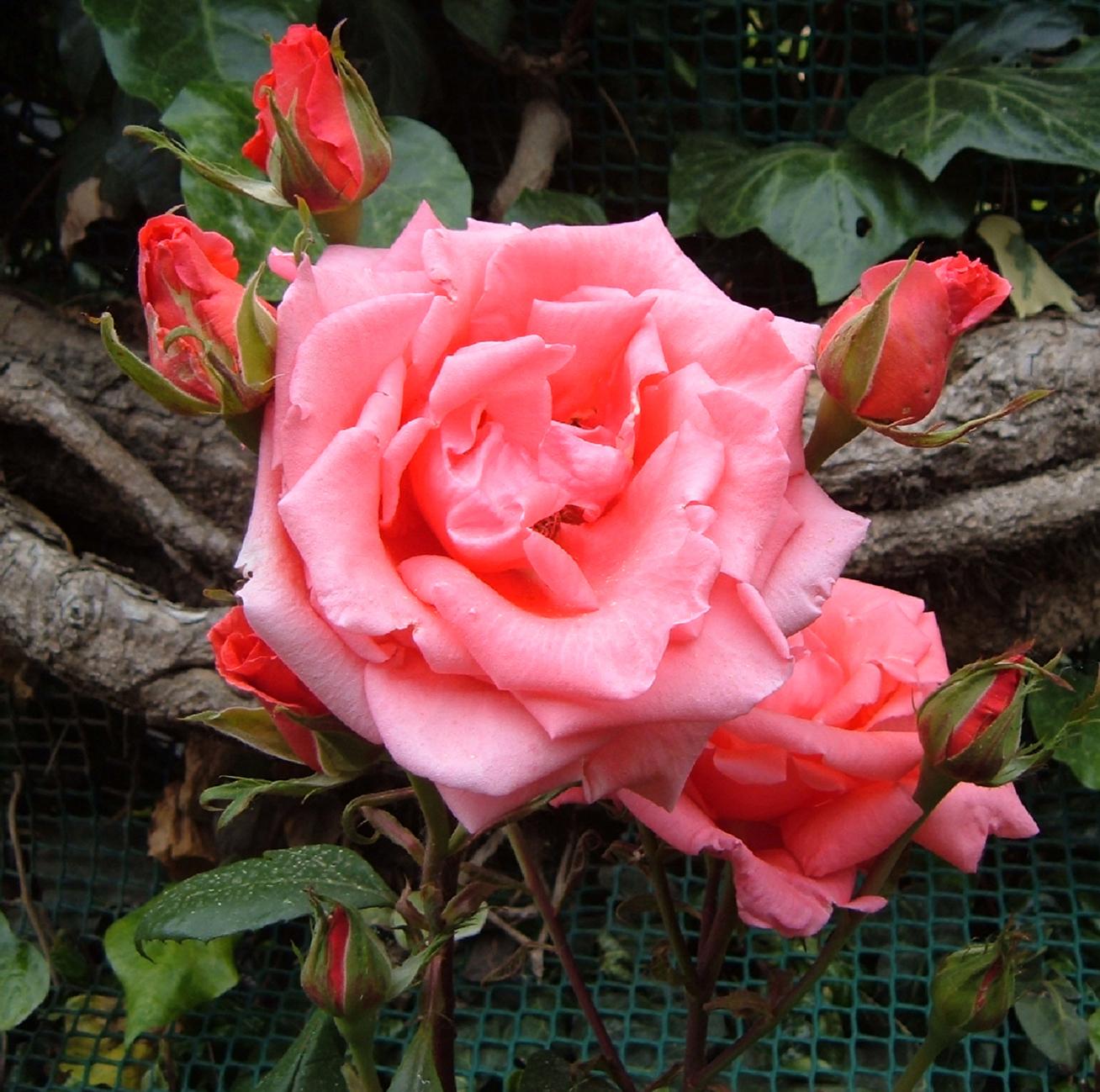 Fotos de flores rosas de varios colores - Flores mas bonitas ...