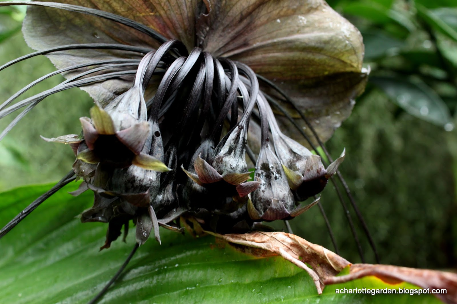 a charlotte garden Bat Plant
