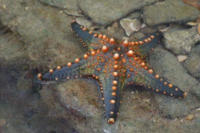 Como conservar, preservar ou secar uma estrela do mar