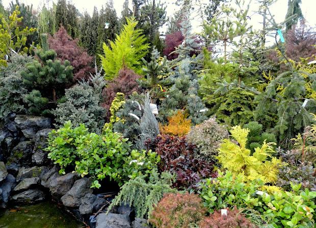 danger garden colorful conifers