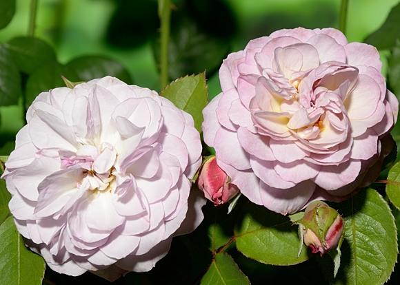 Florence Delattre rose сорт розы фото