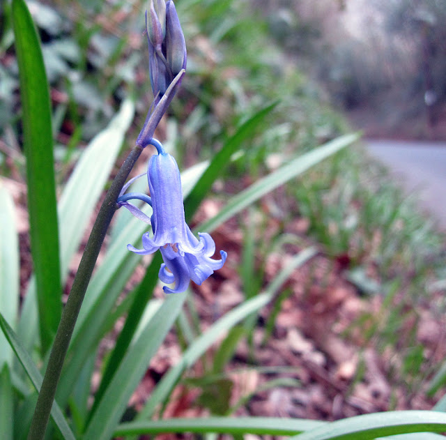 Bluebell in flower.  Hyacinthoides non-scripta.  One Tree Hill, 17 March 2012.