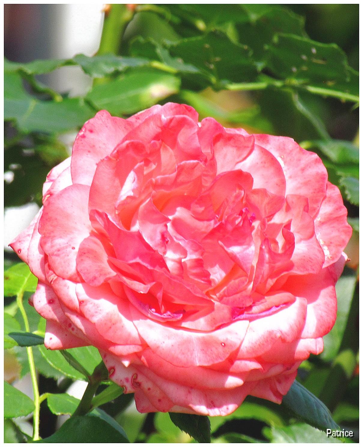 Blog photos de patrice roses et fleurs divers du jardin des plantes le matin - Plante a fleurs roses ...