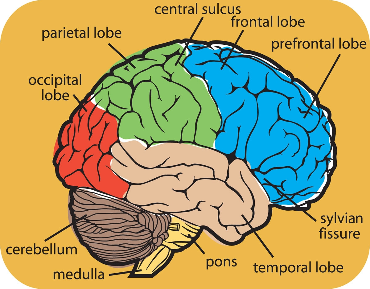 Labeled human brain