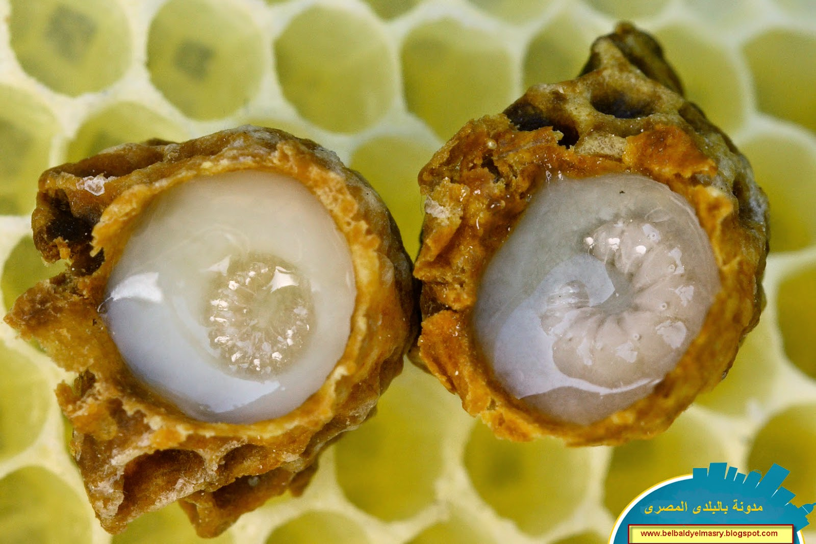 تعرف على فوائد غذاء ملكات النحل العلاجيه والصحيه واستخداماته