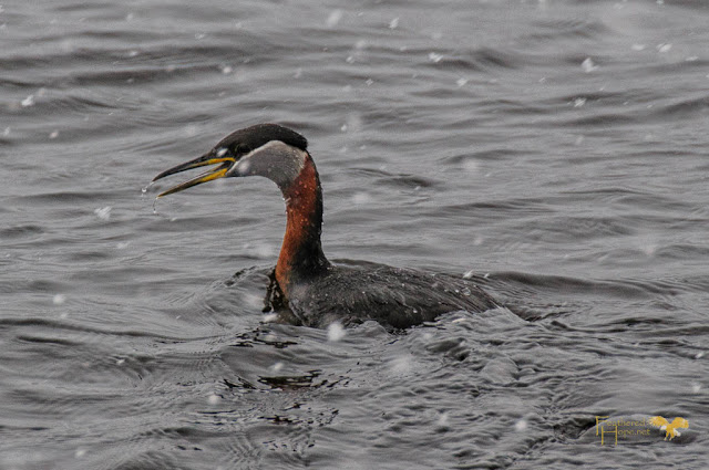 This beautiful Red-necked Grebe was rehabilitated by Marge Gibson and Raptor Education Group and released back into the wild. Photo by Feathered Hope.