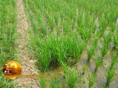 Tradisi tanam padi NYEBLOK di Pagaden Barat, Subang