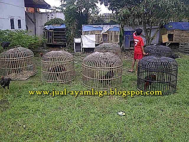 Ayam Laga Jual Ayam Bangkok Laga Ayammania Jual Ayam Bangkok | Ask ...
